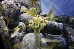 Φυλλώδης δράκος θάλασσας Στοκ φωτογραφία με δικαίωμα ελεύθερης χρήσης