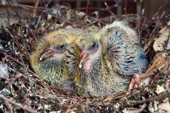 φωλιά δύο περιστεριών νεο στοκ εικόνα
