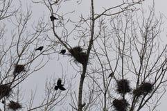 Φωλιά και κόρακες στο τοπ κλάδο δέντρων στοκ εικόνα