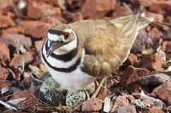 Φωλιά και πουλί Στοκ Εικόνες