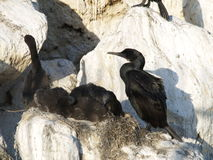 φωλιά κορμοράνων πουλιών Στοκ φωτογραφίες με δικαίωμα ελεύθερης χρήσης