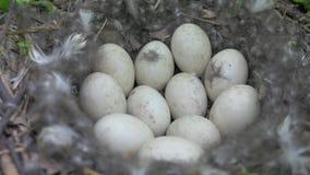 Φωλιά με τα αυγά της πάπιας στις άγρια περιοχές απόθεμα βίντεο