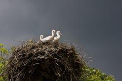 Φωλιά με τους πελαργούς Στοκ Εικόνες