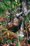 Φωλιά μυρμηγκιών στον κλάδο του δέντρου στο τροπικό τροπικό δάσος του Μπόρνεο, Sabbah Μαλαισία Στοκ Φωτογραφία