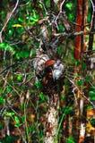 Φωλιά μυρμηγκιών στον κλάδο του δέντρου στο τροπικό τροπικό δάσος του Μπόρνεο, Sabbah Μαλαισία Στοκ Εικόνες