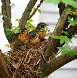 φωλιά μωρών robins Στοκ Εικόνες