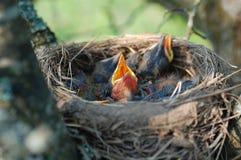 φωλιά νεοσσών Στοκ Εικόνες