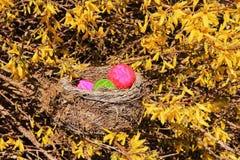 Φωλιά Πάσχας με τα ζωηρόχρωμα αυγά Πάσχας σε έναν ανθίζοντας θάμνο άνοιξη με τα κίτρινα λουλούδια Στοκ φωτογραφίες με δικαίωμα ελεύθερης χρήσης