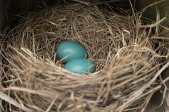 Φωλιά πουλιών με τα αυγά Στοκ Εικόνες