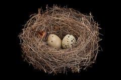 Φωλιά πουλιών με τα αυγά Στοκ φωτογραφία με δικαίωμα ελεύθερης χρήσης