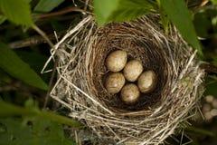 φωλιά πουλιών Στοκ Εικόνα