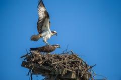 Φωλιά που χτίζει Ospreys στοκ εικόνα