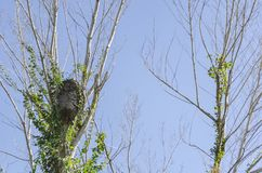 Φωλιά τερμιτών στους ξηρούς κλάδους στοκ εικόνες