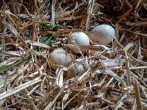Φωλιά της Τουρκίας με τα φρέσκα αυγά Στοκ Εικόνες