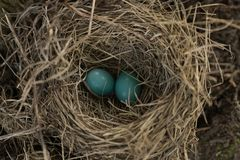 Φωλιά της Robin ` s με τα αυγά Στοκ Φωτογραφίες