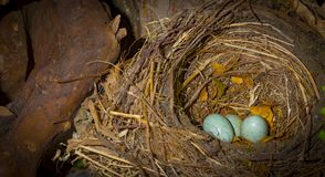 Φωλιά του αμερικανικού σπουργιτιού με δύο μπλε αυγά μέσα στοκ φωτογραφία με δικαίωμα ελεύθερης χρήσης