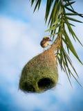 Φωλιά του πουλιού του χωριού υφαντών Στοκ εικόνα με δικαίωμα ελεύθερης χρήσης
