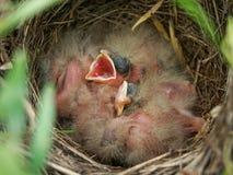 Φωλιά υφάσματος καλαμποκιού με τους νεοσσούς στοκ φωτογραφίες