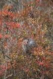 Φωλιά Hornet Baldfaced το φθινόπωρο Στοκ Εικόνα