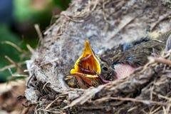 Φωλιά Llife με τους νεοσσούς στις άγρια περιοχές Στοκ εικόνες με δικαίωμα ελεύθερης χρήσης