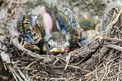 Φωλιά Llife με τους νεοσσούς στις άγρια περιοχές Στοκ φωτογραφίες με δικαίωμα ελεύθερης χρήσης