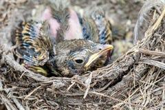 Φωλιά Llife με τους νεοσσούς στις άγρια περιοχές Στοκ Εικόνες