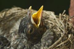 φωλιά Robin μωρών στοκ εικόνες με δικαίωμα ελεύθερης χρήσης