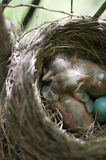 φωλιά Robin s Στοκ Εικόνα