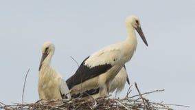 Φωλιές αποδημητικών πουλιών και πελαργών E στοκ φωτογραφίες με δικαίωμα ελεύθερης χρήσης