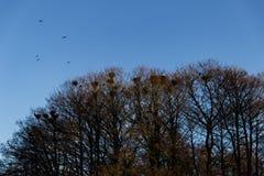 Φωλιές κισσών στα δέντρα Στοκ Εικόνες