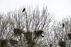 Φωλιές κορακιών στο τσιγγελάκι δέντρων με τα κοράκια Στοκ φωτογραφία με δικαίωμα ελεύθερης χρήσης