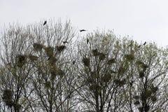 Φωλιές κορακιών στο τσιγγελάκι δέντρων με τα κοράκια Στοκ Φωτογραφία