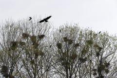 Φωλιές κορακιών στο τσιγγελάκι δέντρων με τα κοράκια Στοκ Φωτογραφίες