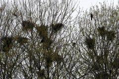 Φωλιές κορακιών στο τσιγγελάκι δέντρων με τα κοράκια Στοκ εικόνες με δικαίωμα ελεύθερης χρήσης