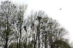 Φωλιές κορακιών στο τσιγγελάκι δέντρων με τα κοράκια Στοκ εικόνα με δικαίωμα ελεύθερης χρήσης