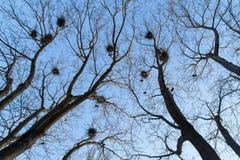 Φωλιές στους κλάδους δέντρων στο δάσος ενάντια στο μπλε ουρανό στοκ εικόνες με δικαίωμα ελεύθερης χρήσης