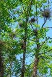 Φωλιές τσικνιάδων στα δέντρα στοκ εικόνες
