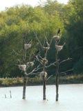 Φωλιές των μεγάλων κορμοράνων σε μια λίμνη στο ζωικό πάρκο Sainte Croix σε Μοζέλλα στοκ εικόνες