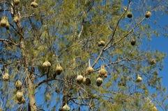 Φωλιές των πουλιών υφαντών ακρωτηρίων στοκ φωτογραφία