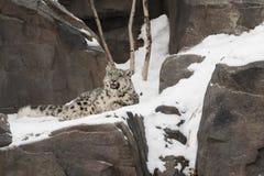 Φωνάζοντας Cub λεοπαρδάλεων χιονιού που βάζει στους βράχους, χιόνι Στοκ φωτογραφία με δικαίωμα ελεύθερης χρήσης