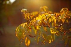 Φως ακτίνων ήλιων σκιαγραφιών μεταξύ των κλάδων ξύλων καρυδιάς Στοκ Εικόνες