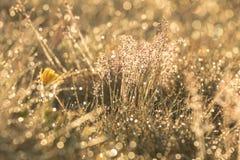 Φως ανατολής στη χλόη Δροσιά πρωινού στη χλόη και τα λουλούδια Στοκ Φωτογραφίες