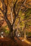 Φως επάνω στη σήραγγα Momiji διαδρόμων σφενδάμνου στην εποχή φθινοπώρου σε Kawa Στοκ εικόνα με δικαίωμα ελεύθερης χρήσης