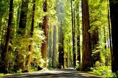 Φως μέσω του Redwoods Στοκ Εικόνες