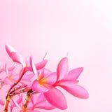 φως λουλουδιών ανασκόπησης playnig ρόδινο plumeria λουλουδιών Στοκ Εικόνες