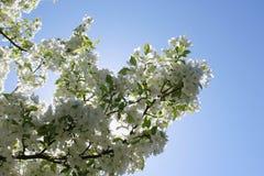 Φως του ήλιου μέσω των άσπρων ανθών της Apple Στοκ εικόνα με δικαίωμα ελεύθερης χρήσης