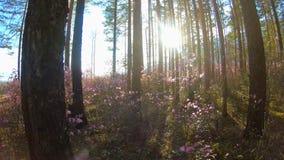 Φως του ήλιου μέσω των δέντρων στο δάσος μεταξύ των ρόδινων λουλουδιών Rhododendron απόθεμα βίντεο