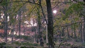 Φως του ήλιου μέσω των φθινοπωρινών κλάδων δέντρων σημύδων απόθεμα βίντεο