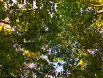 Φως του ήλιου μέσω των φύλλων στο τοπ δέντρο Η ηλιοφάνεια απεικονίζει στο φύλλο στοκ εικόνες