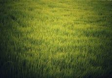 Φως του ήλιου που απεικονίζει στη συγκομιδή ρυζιού στοκ φωτογραφίες